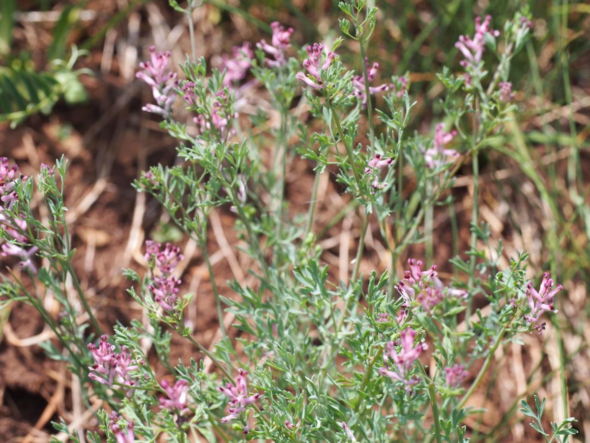 Fumitory, Small pink plant