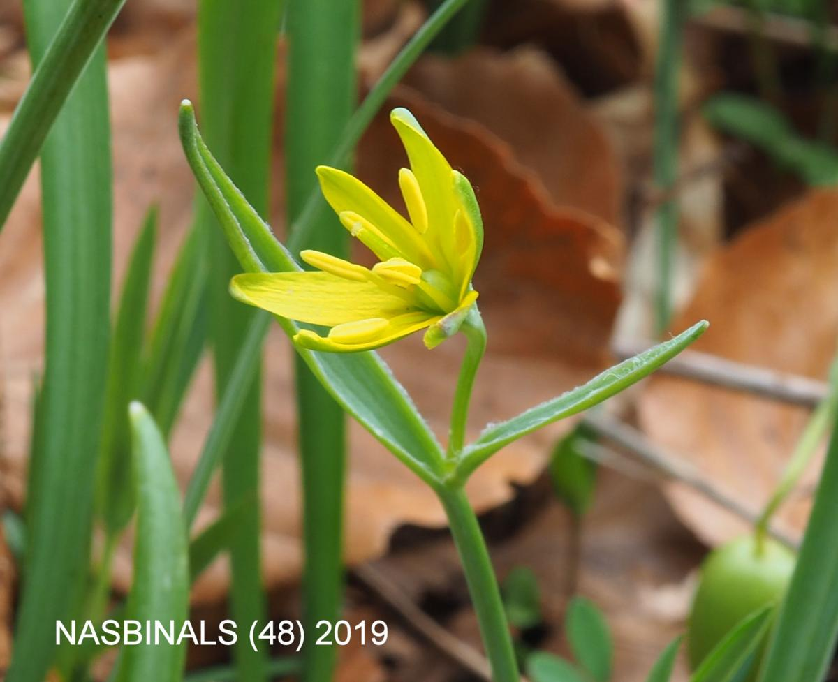 Star-of-Bethlehem, Yellow flower