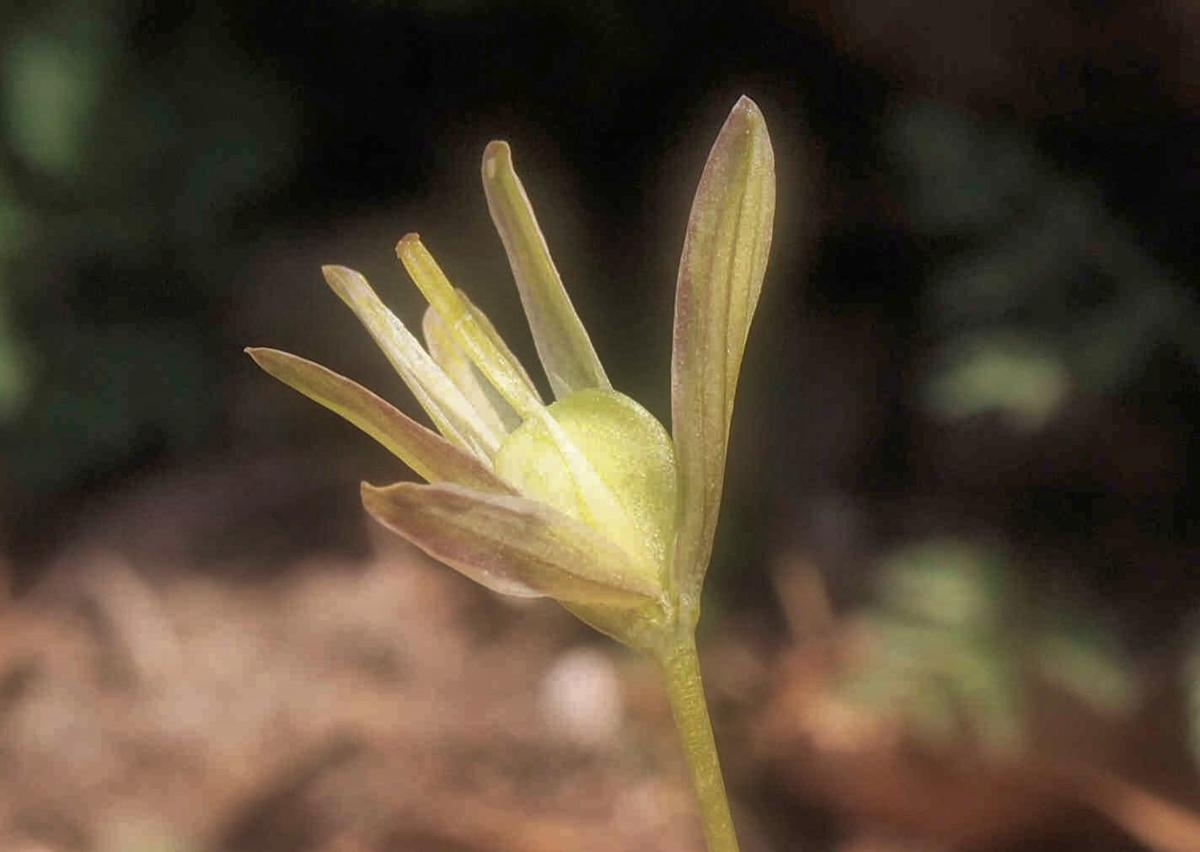 Star-of-Bethlehem, Yellow fruit
