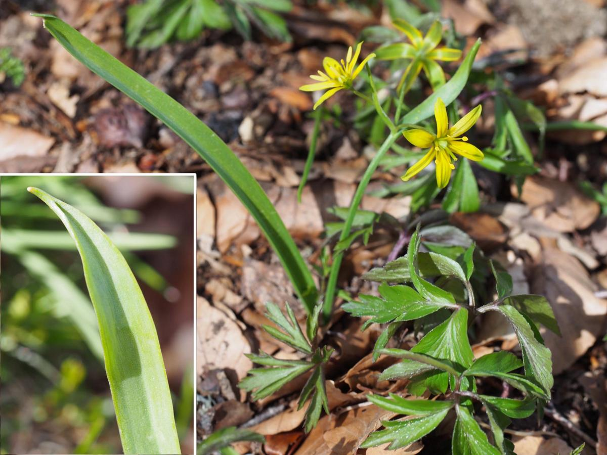 Star-of-Bethlehem, Yellow leaf