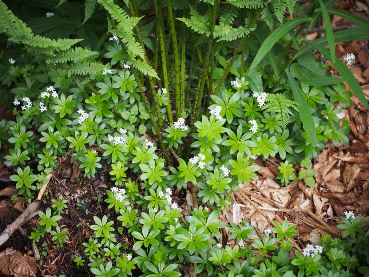 Woodruff, Sweet plant