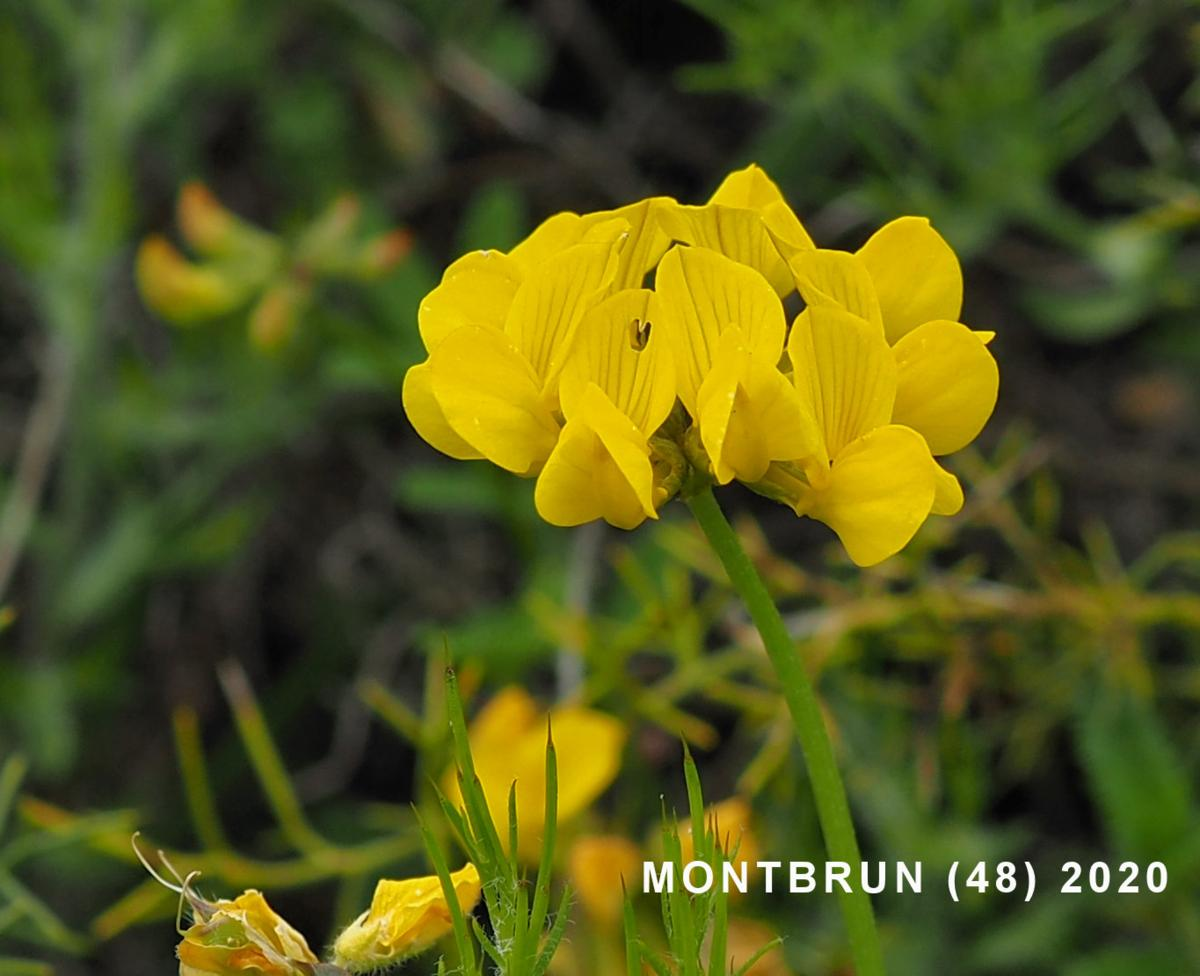 Gorse, Spanish flower