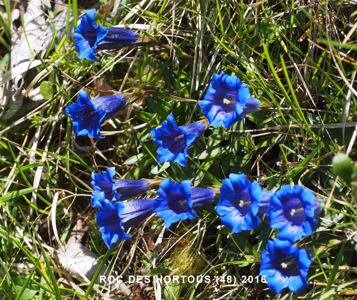 Gentian of the Causse flower