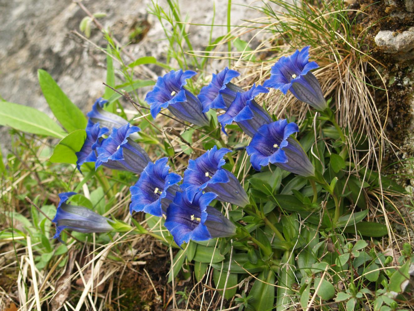 Gentian of the Causse