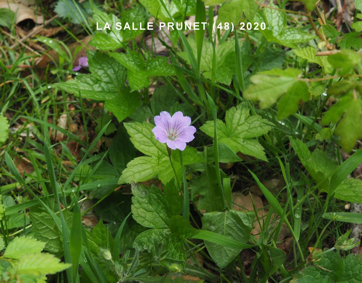 Cranesbill, Knotted plant