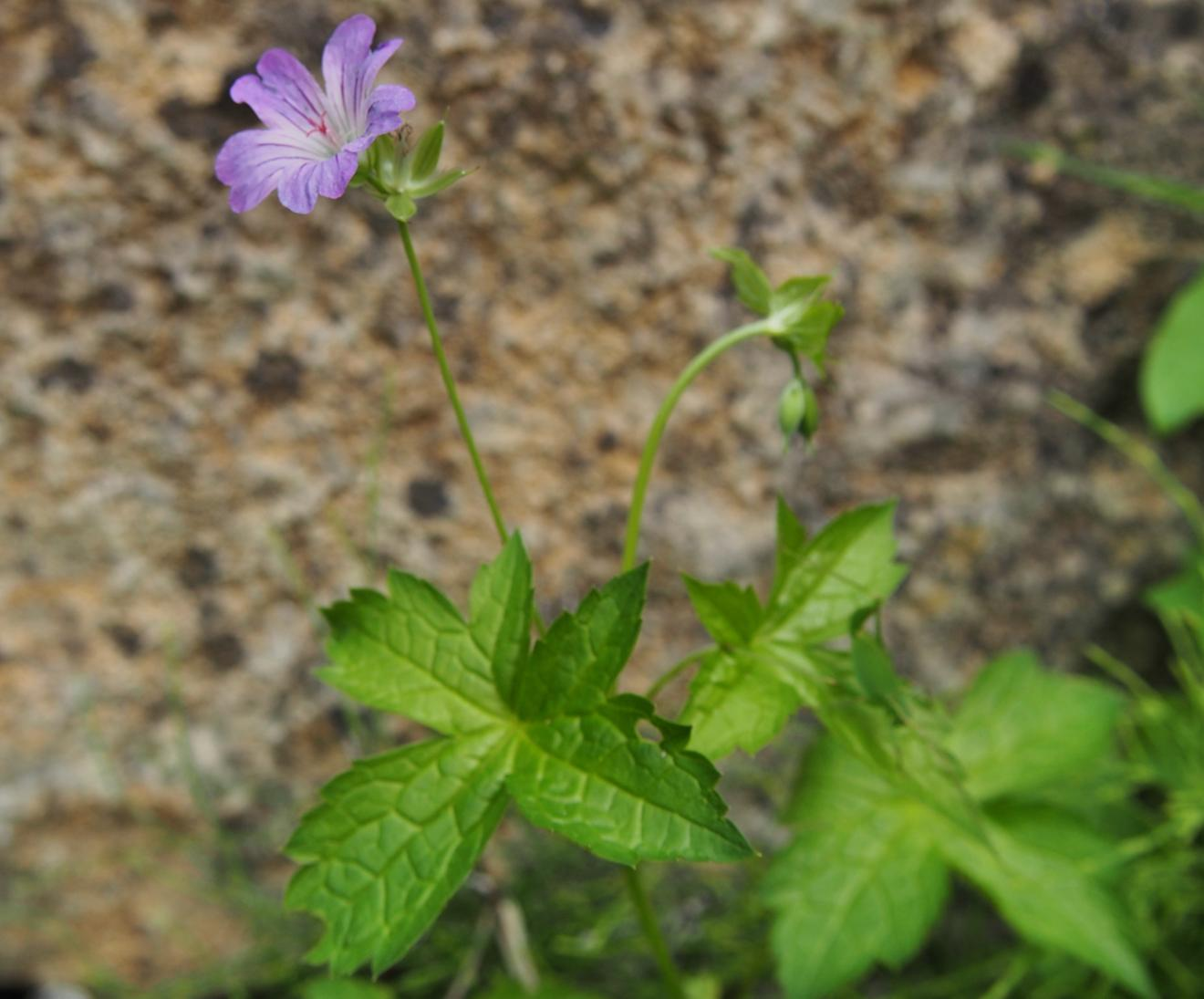 Cranesbill, Knotted