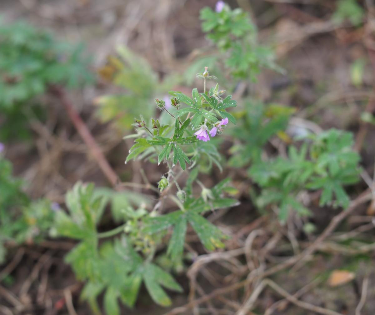 Cranesbill, Small-flowered plant