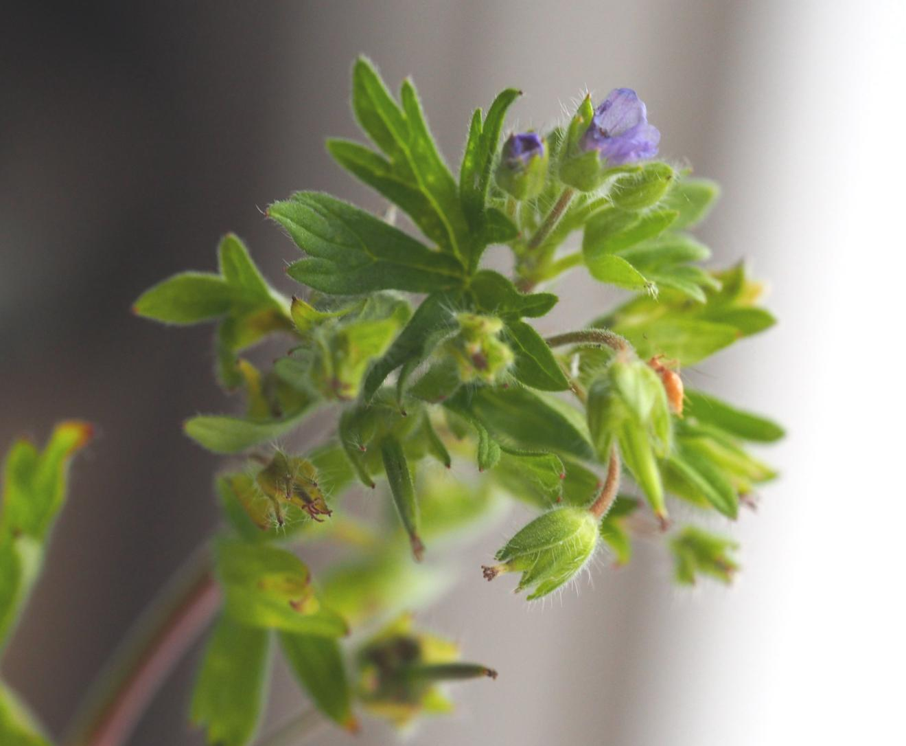 Cranesbill, Small-flowered