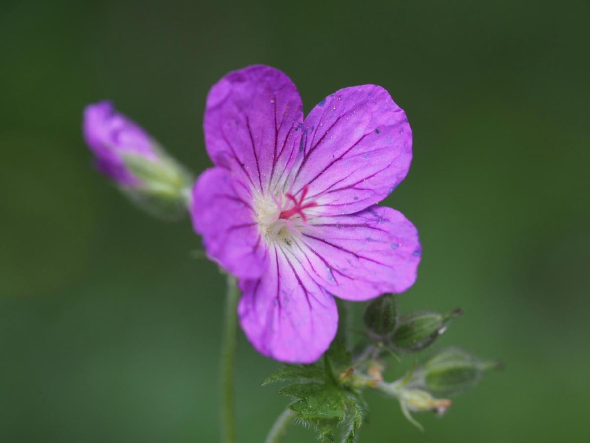 Cranesbill, Wood flower
