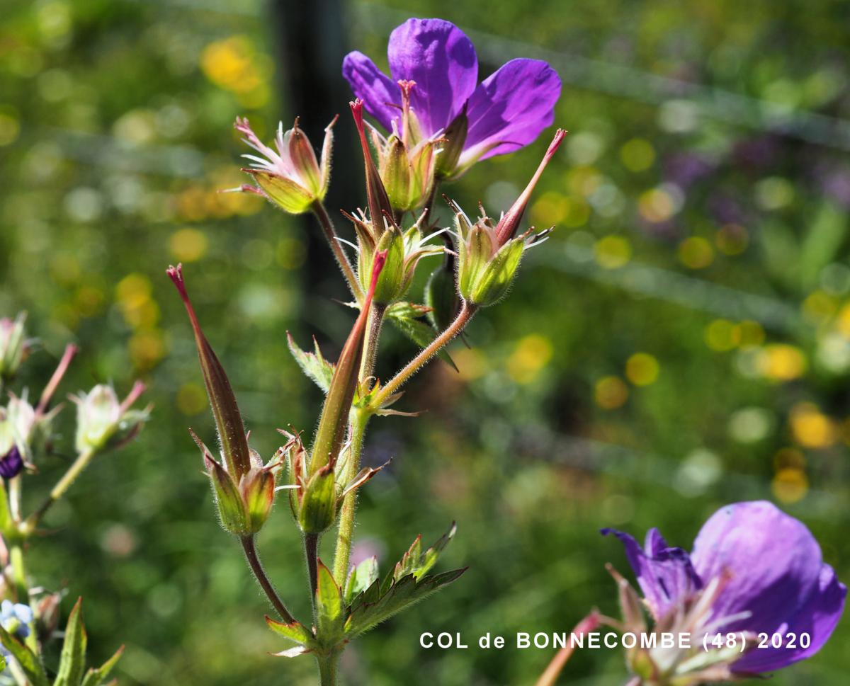Cranesbill, Wood fruit