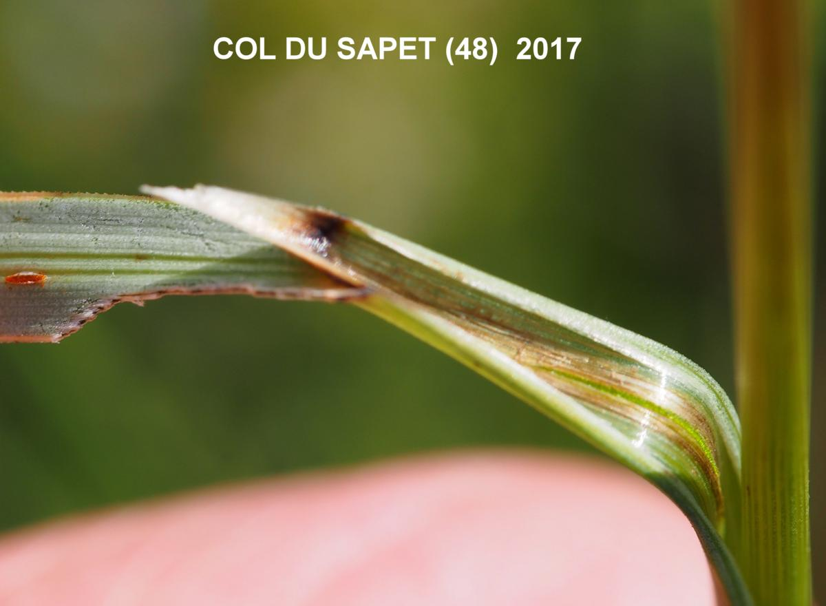 Oat-grass, (False brome) leaf