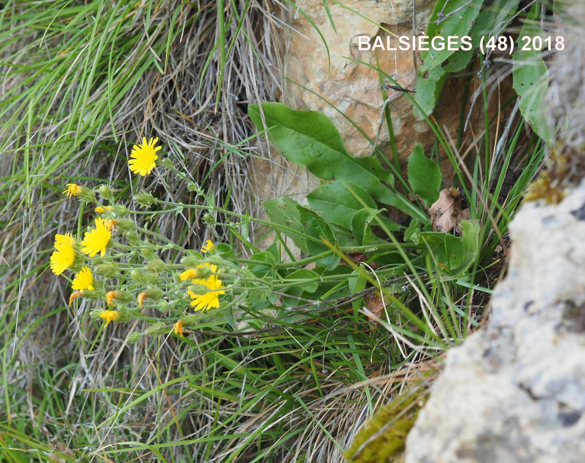 Hawkweed, Clasping plant