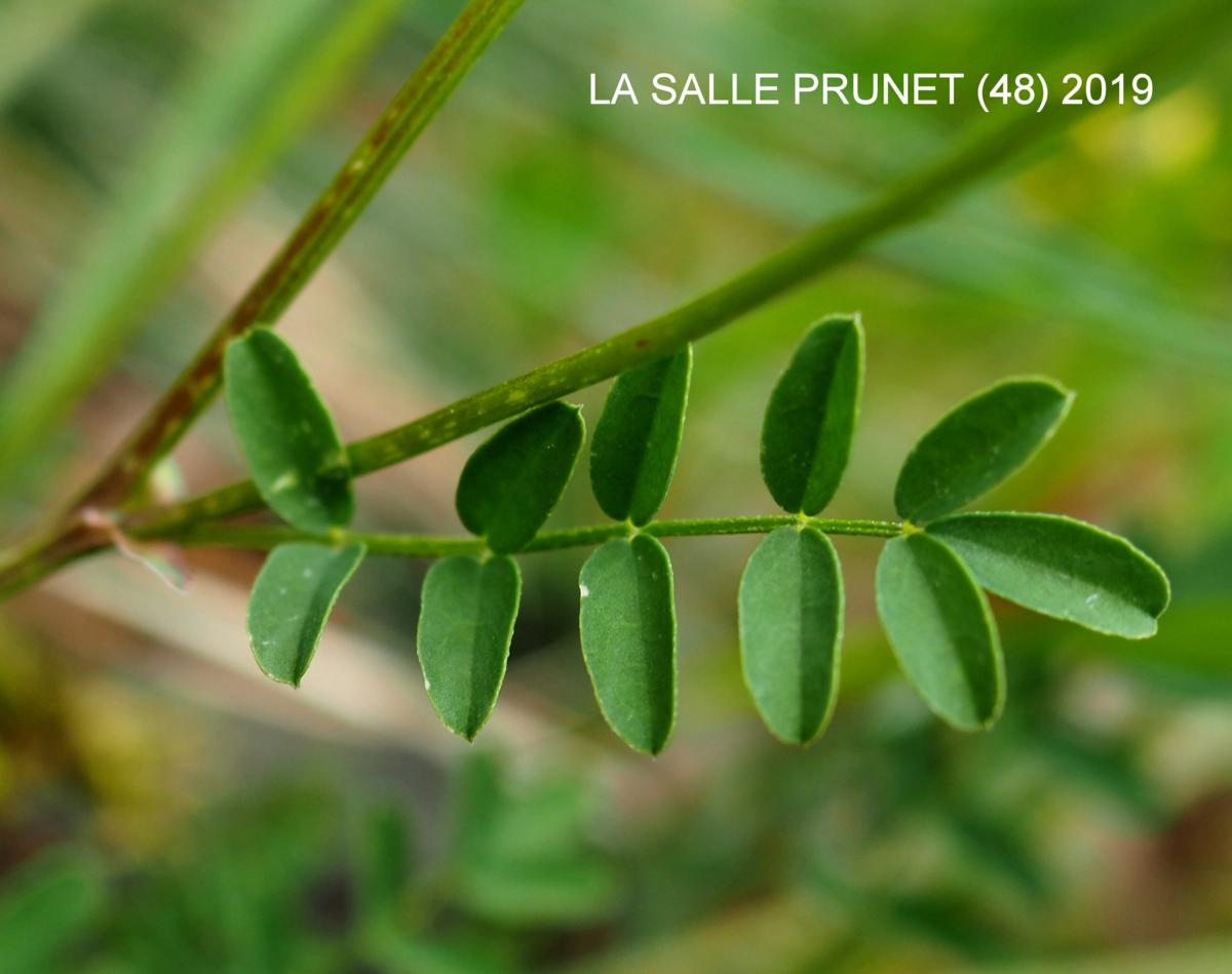 Vetch, Horseshoe leaf