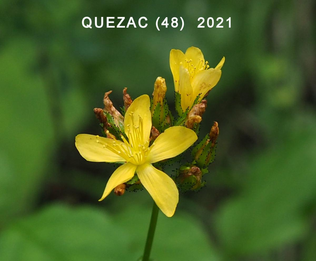 St. John's Wort, Mountain flower