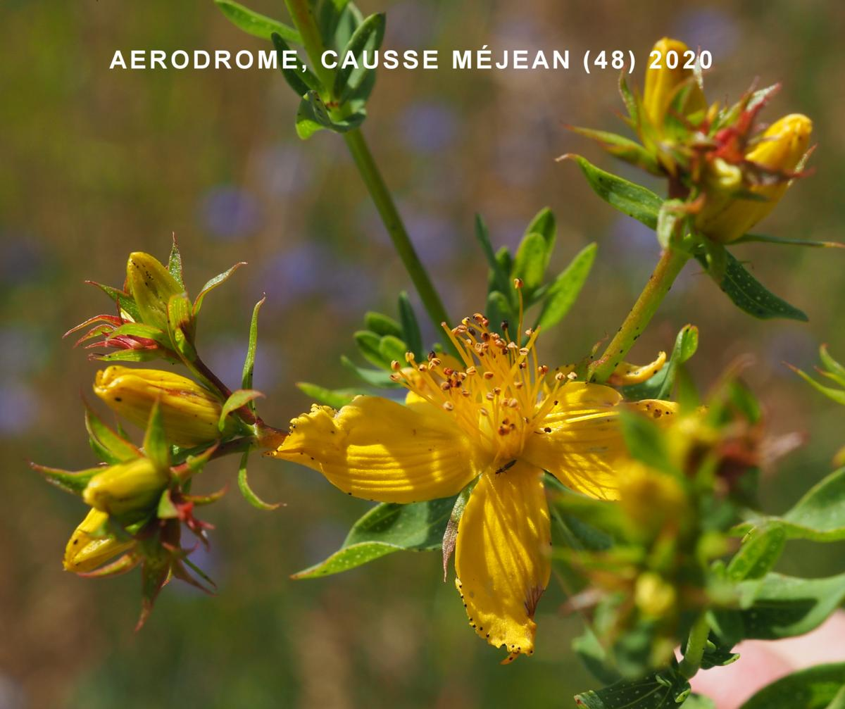 St. John's Wort, Perforate flower
