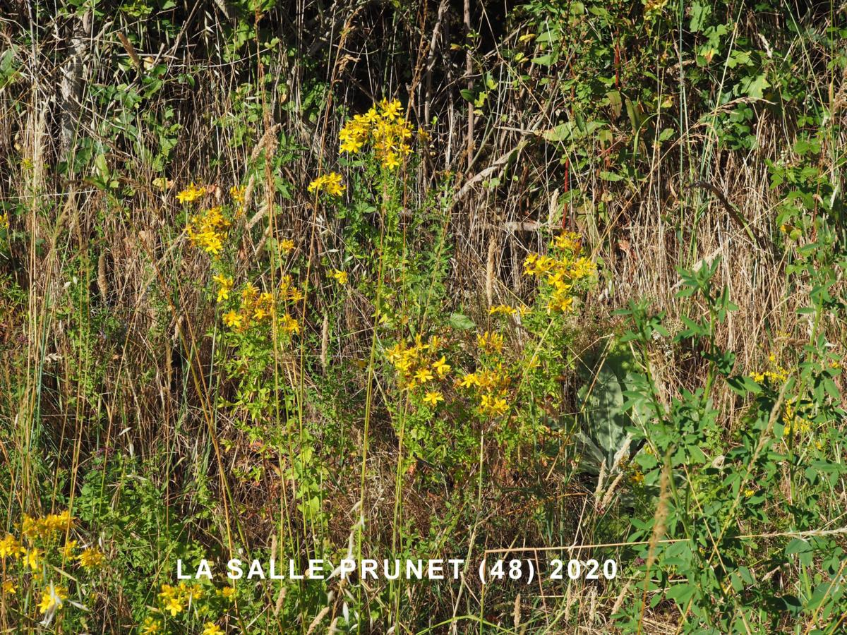 St. John's Wort, Perforate plant