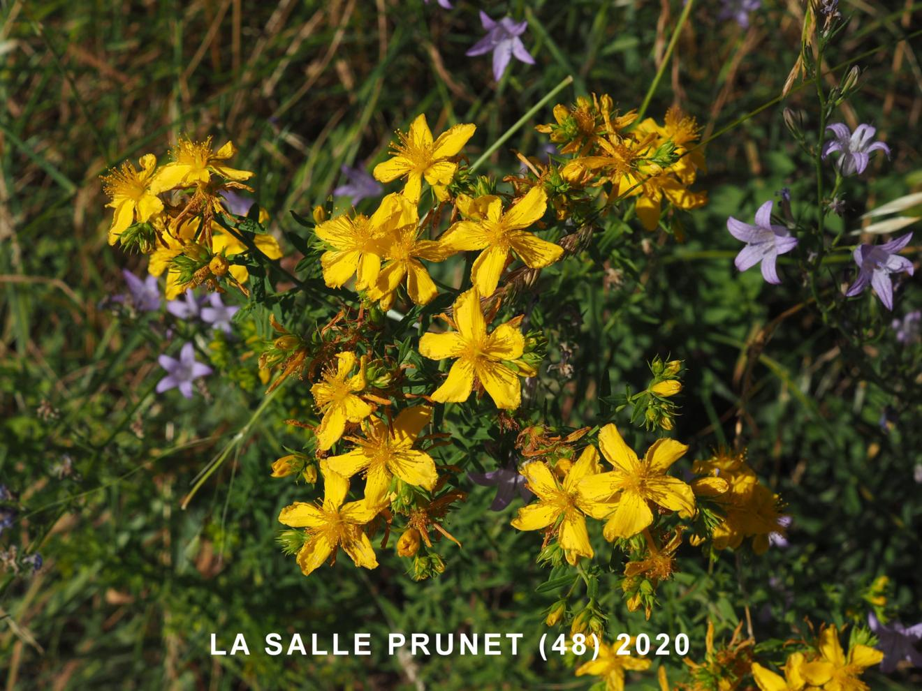 St. John's Wort, Perforate