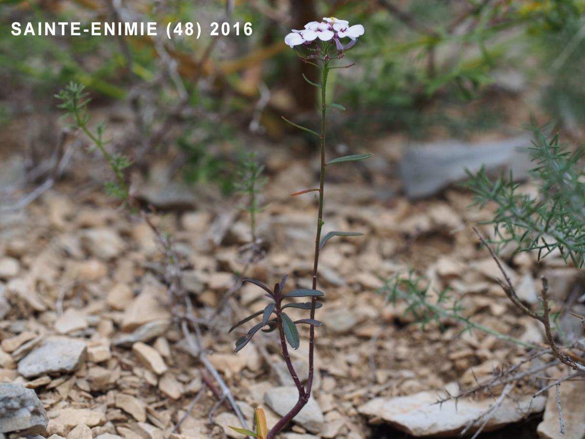 Candytuft, (Prost's) leaf