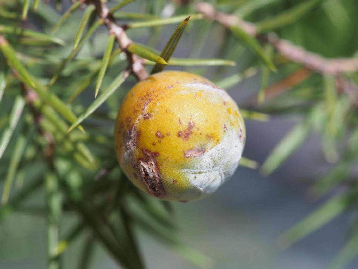 Juniper, Prickly fruit