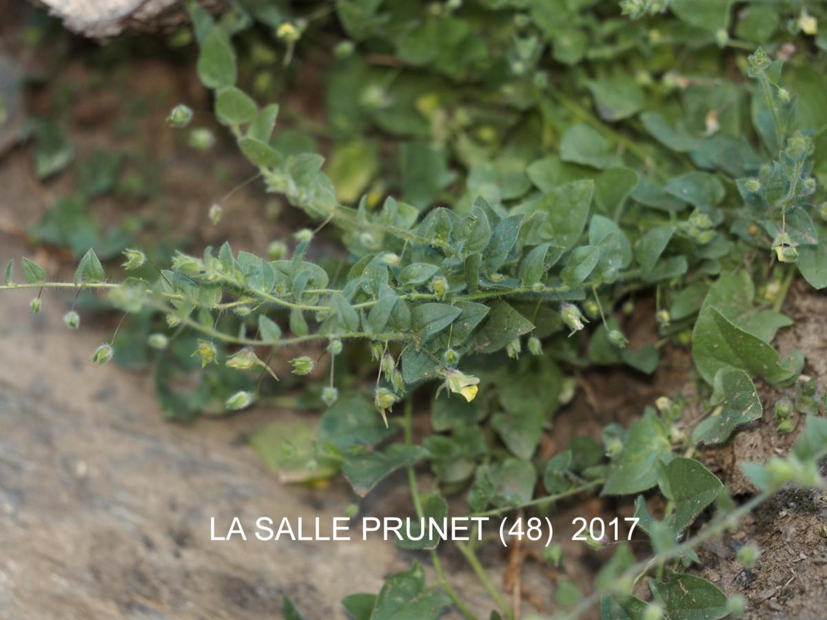 Fluellen, Sharp-leaved plant