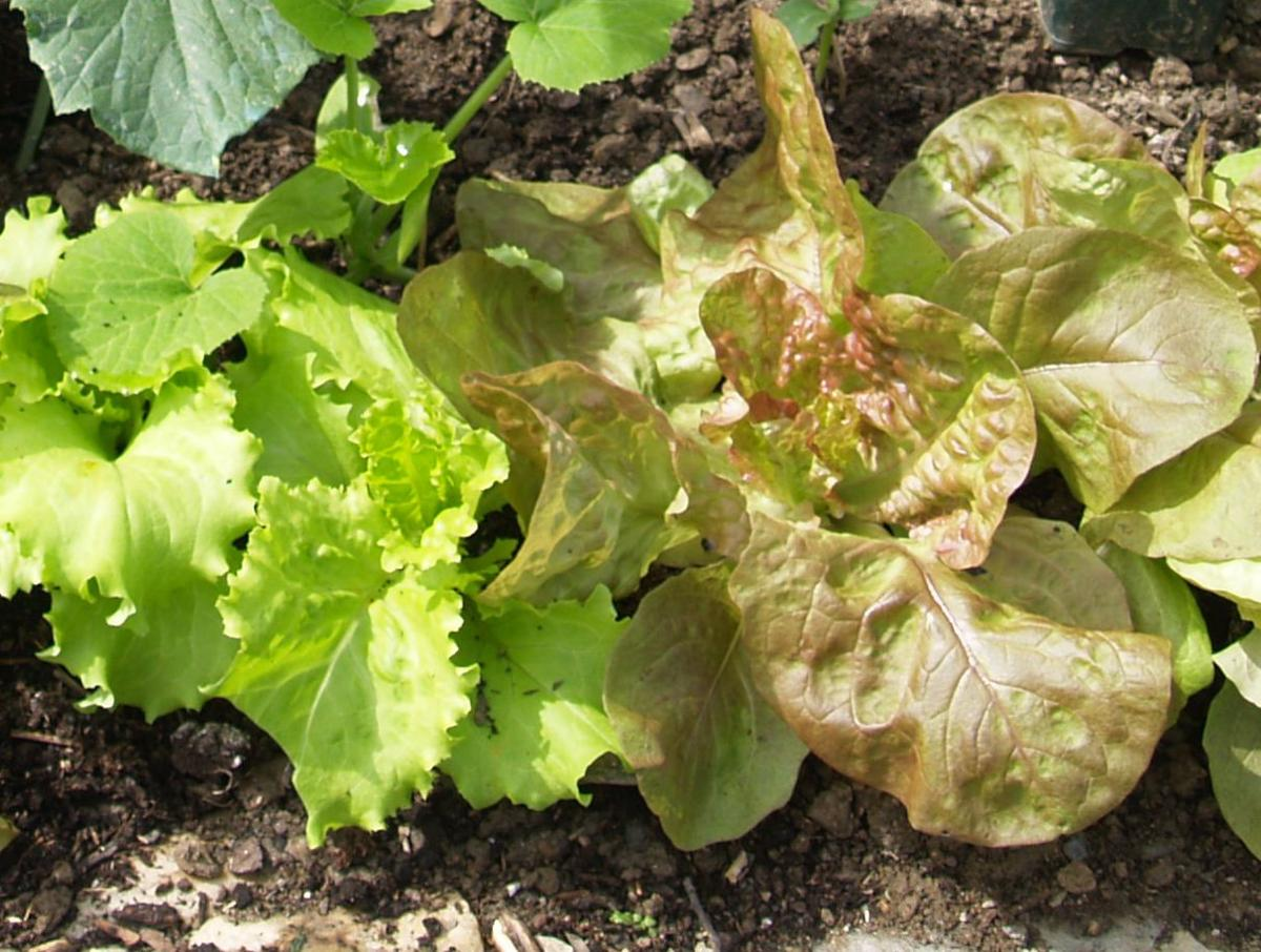 Lettuce, Cultivated leaf