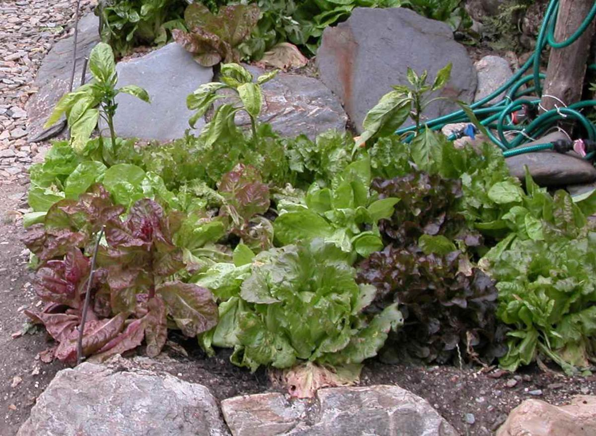 Lettuce, Cultivated plant