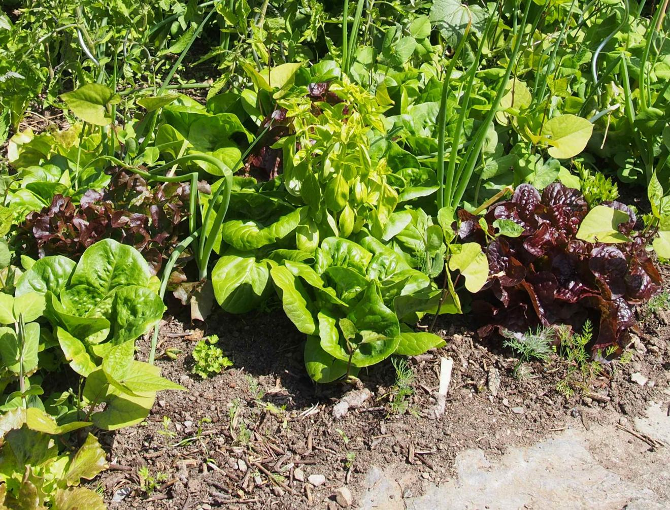 Lettuce, Cultivated
