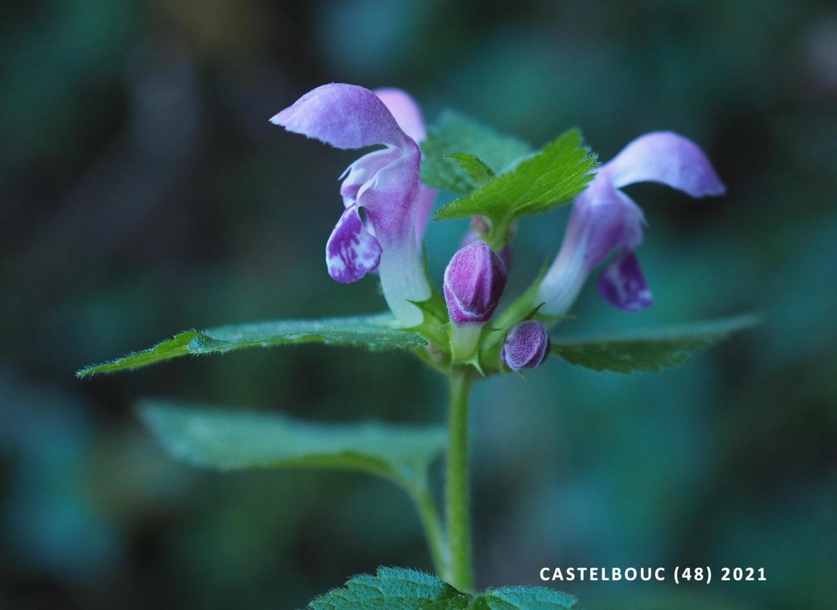 Dead-nettle, Spotted flower