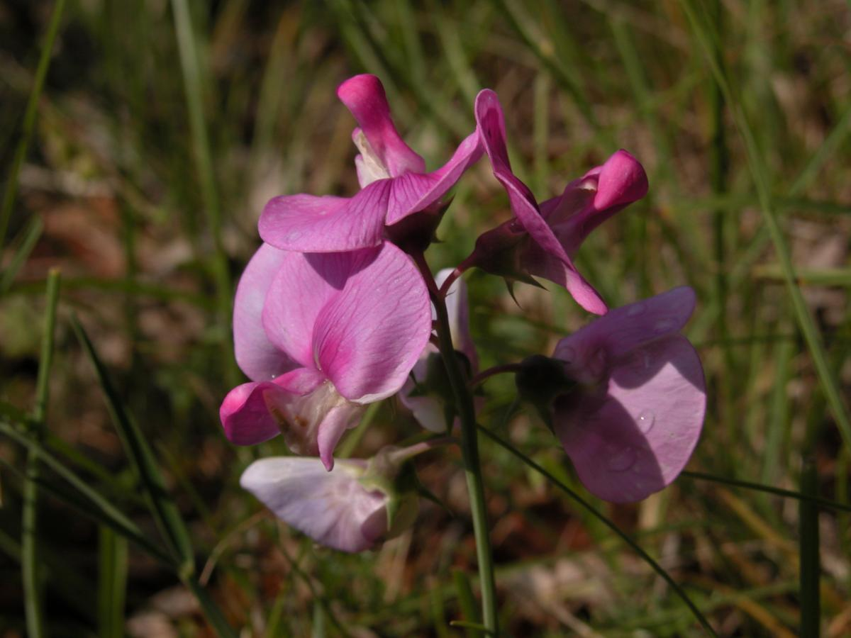 Everlasting-pea, Broad-leaved flower