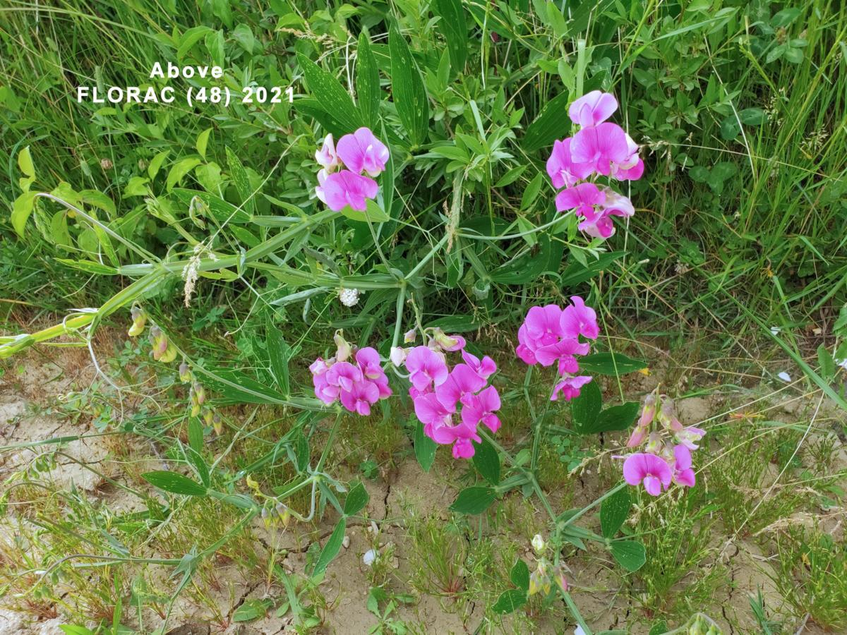 Everlasting-pea, Broad-leaved plant