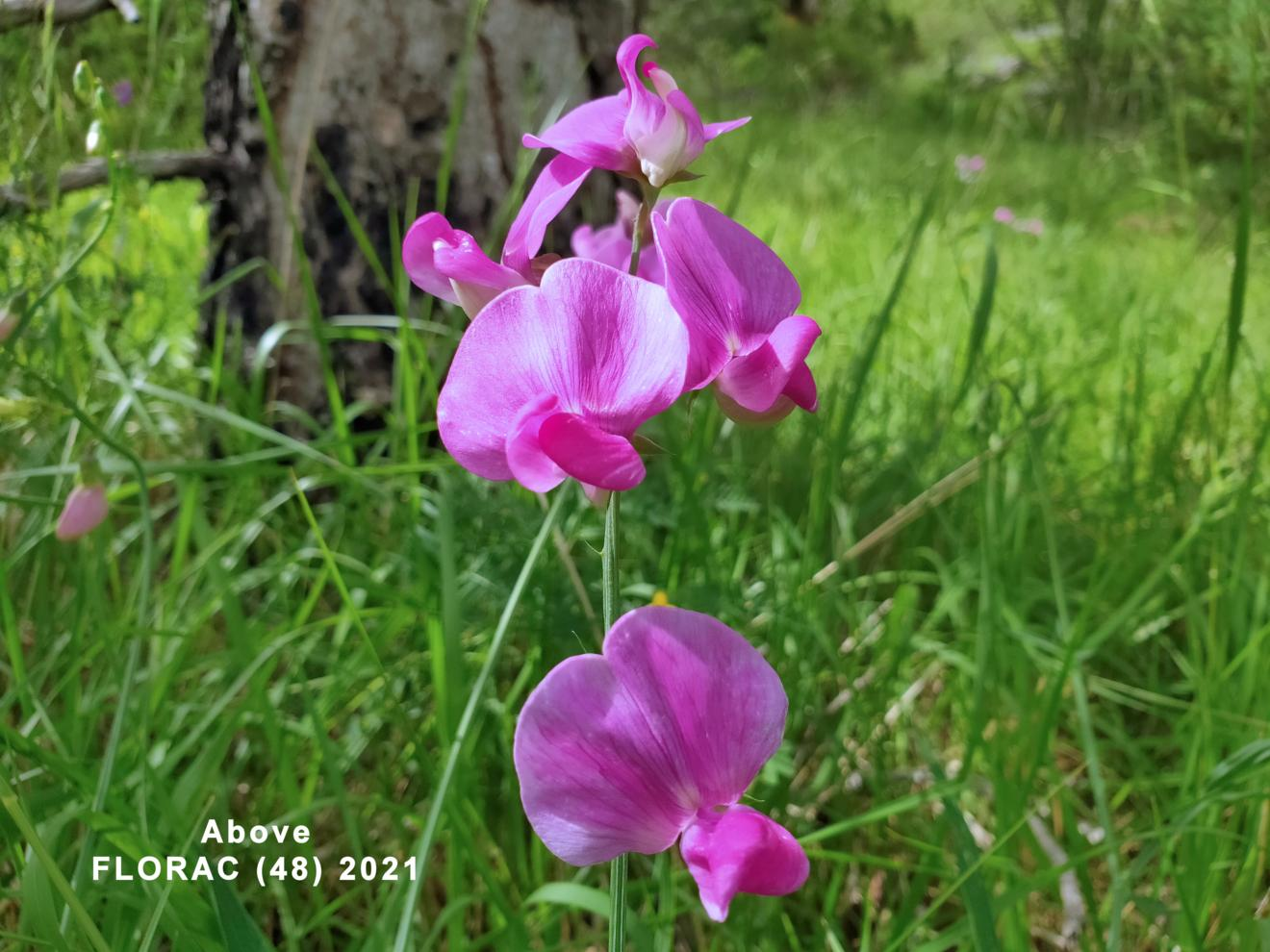 Everlasting-pea, Broad-leaved