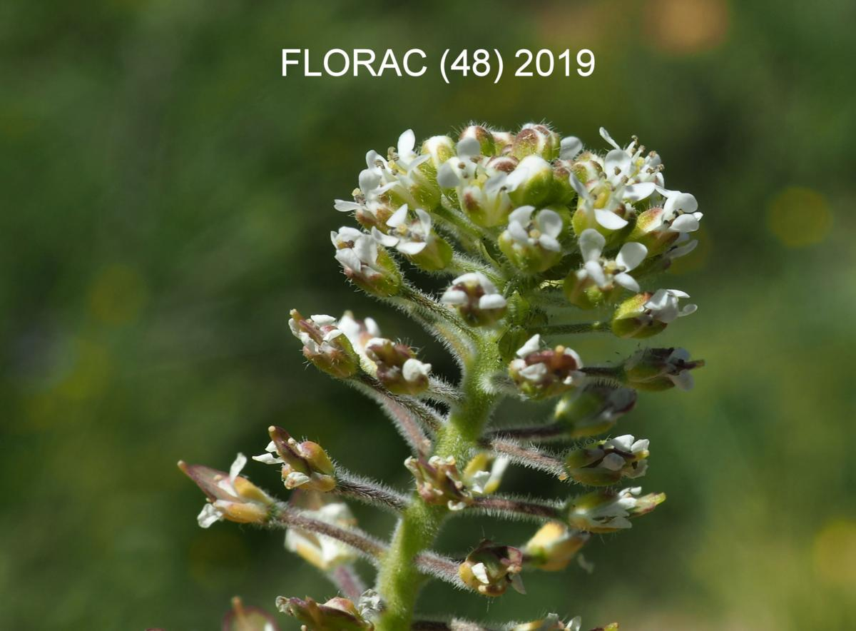 Pepperwort, Field flower