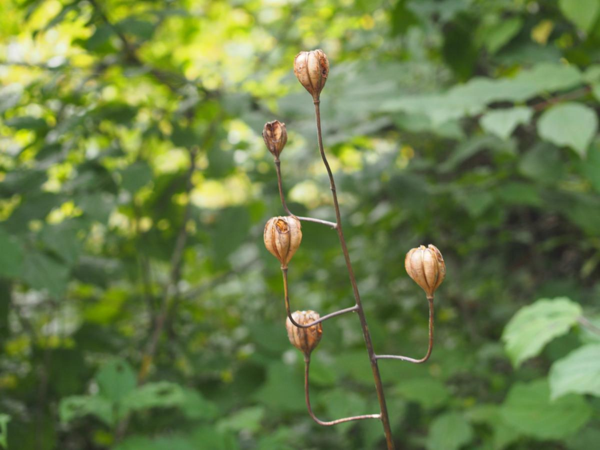 Lily, Martagon fruit