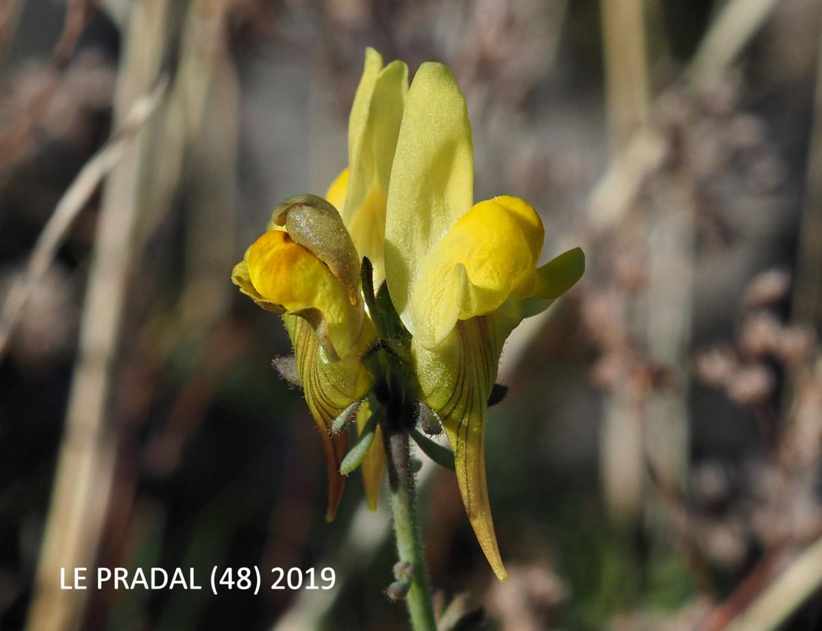Toadflax,Long-spurred flower