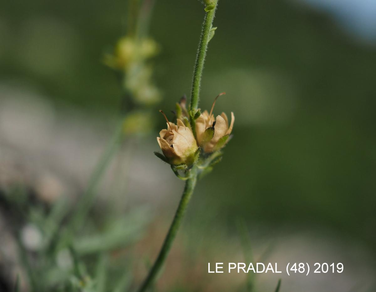 Toadflax,Long-spurred fruit