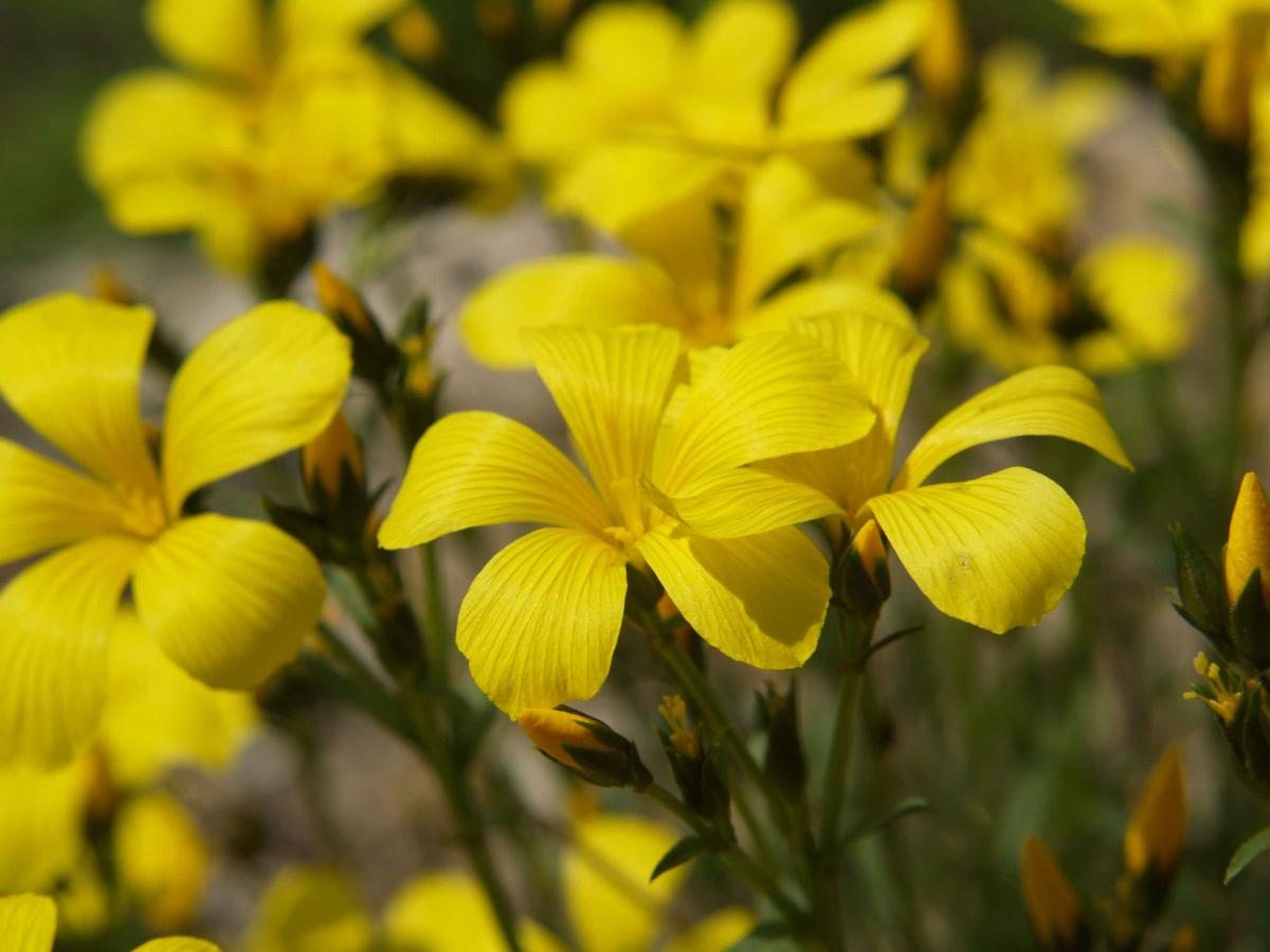 Flax, Yellow flower