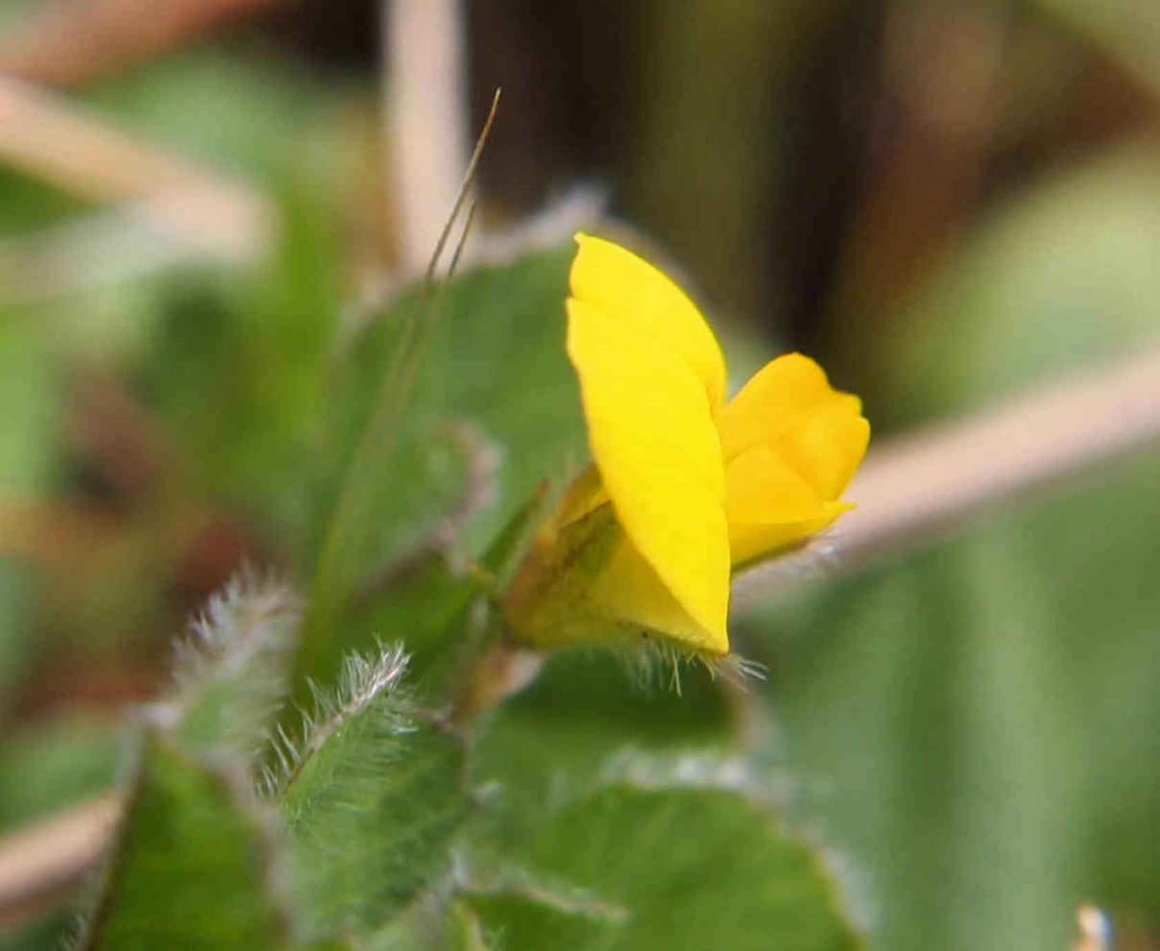 Bird's-foot trefoil, Dwarf