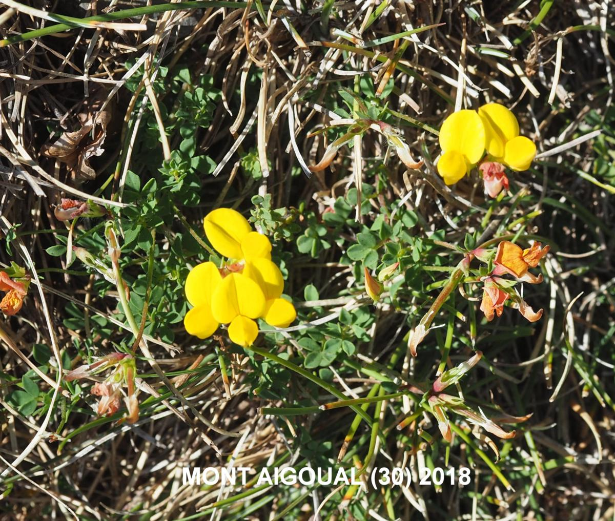 Bird's-foot trefoil, Common plant