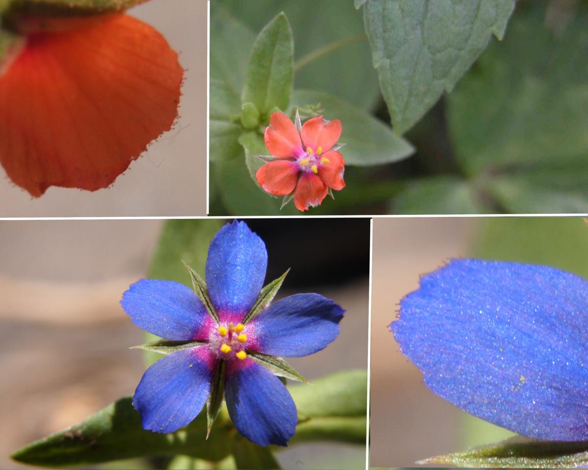 Pimpernel, Scarlet flower