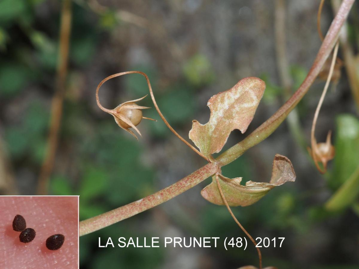 Pimpernel, Scarlet fruit