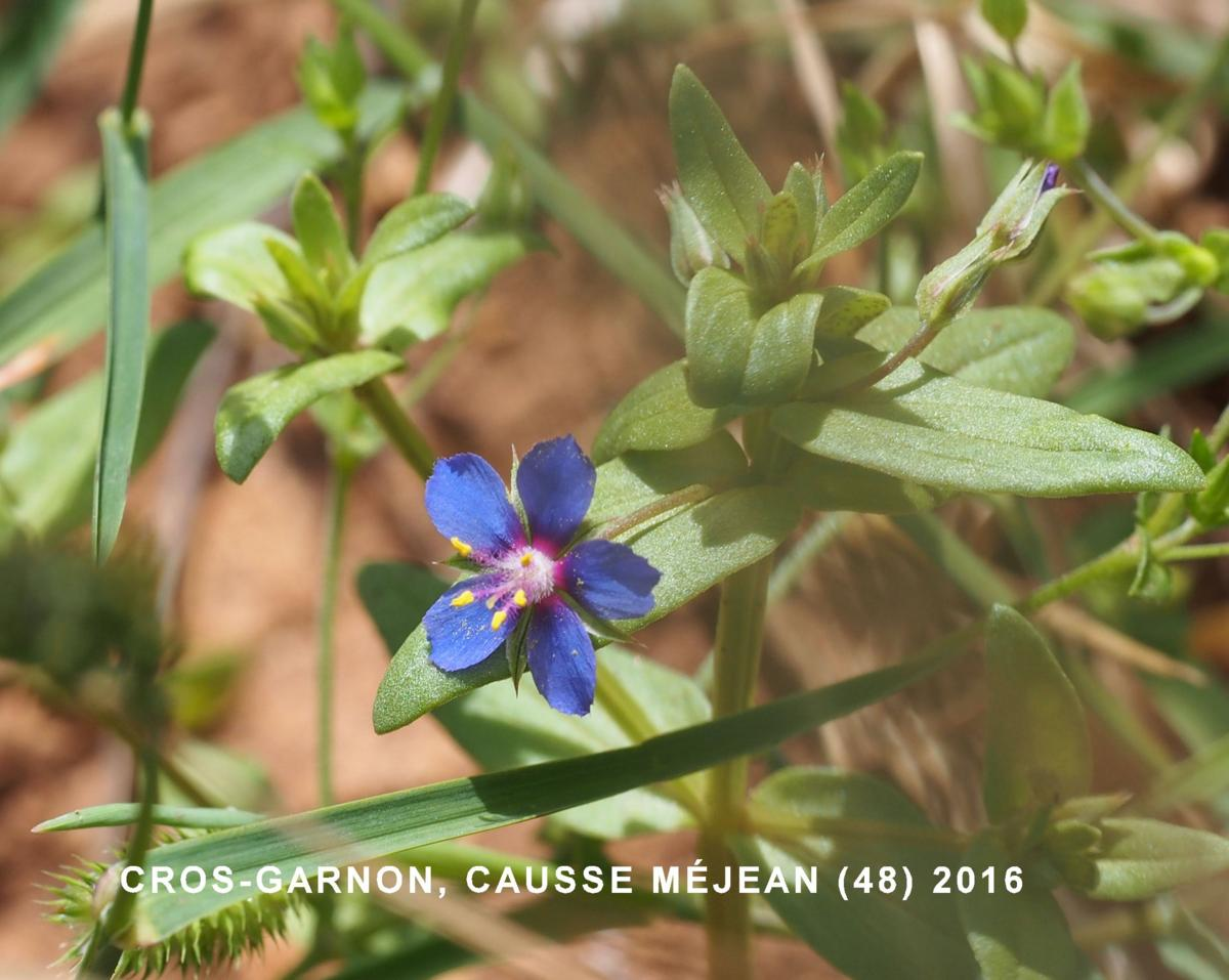 Pimpernel, Blue flower
