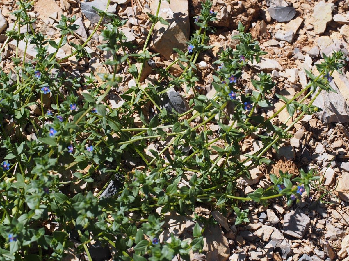 Pimpernel, Blue plant