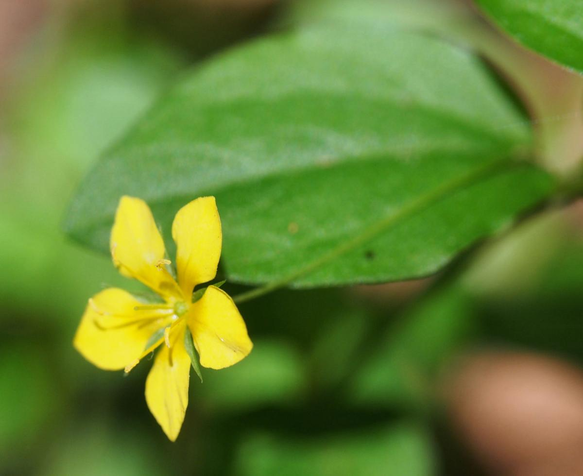 Pimpernel, Yellow flower