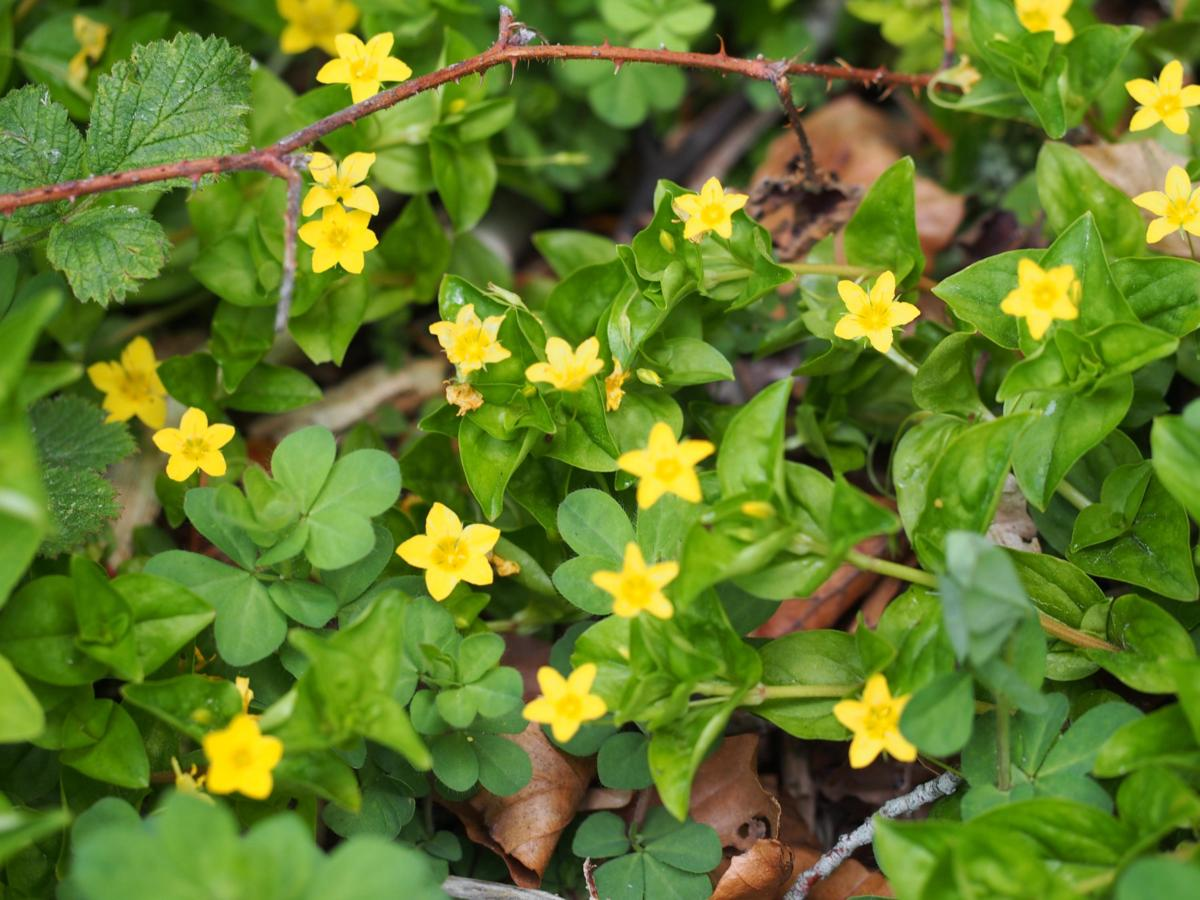 Pimpernel, Yellow plant