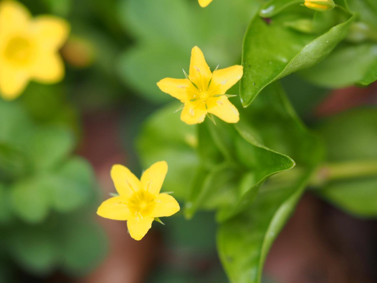 Pimpernel, Yellow