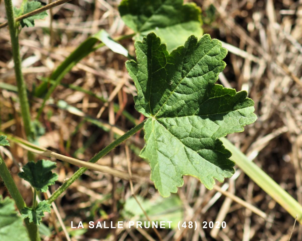 Mallow, Common leaf