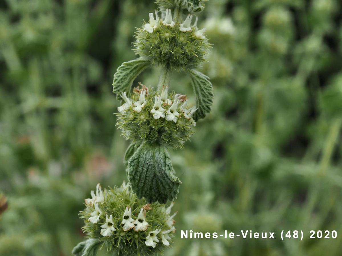 Horehound, White flower