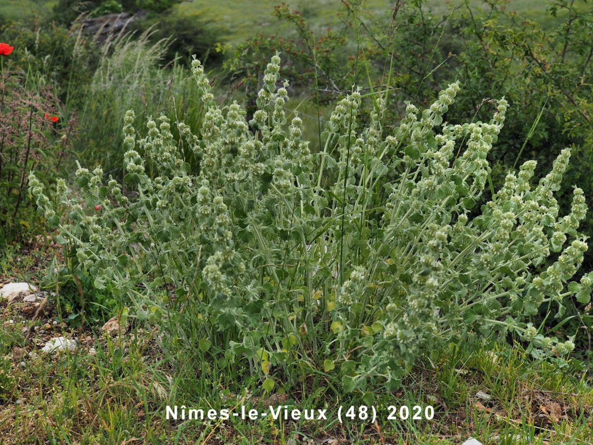Horehound, White plant