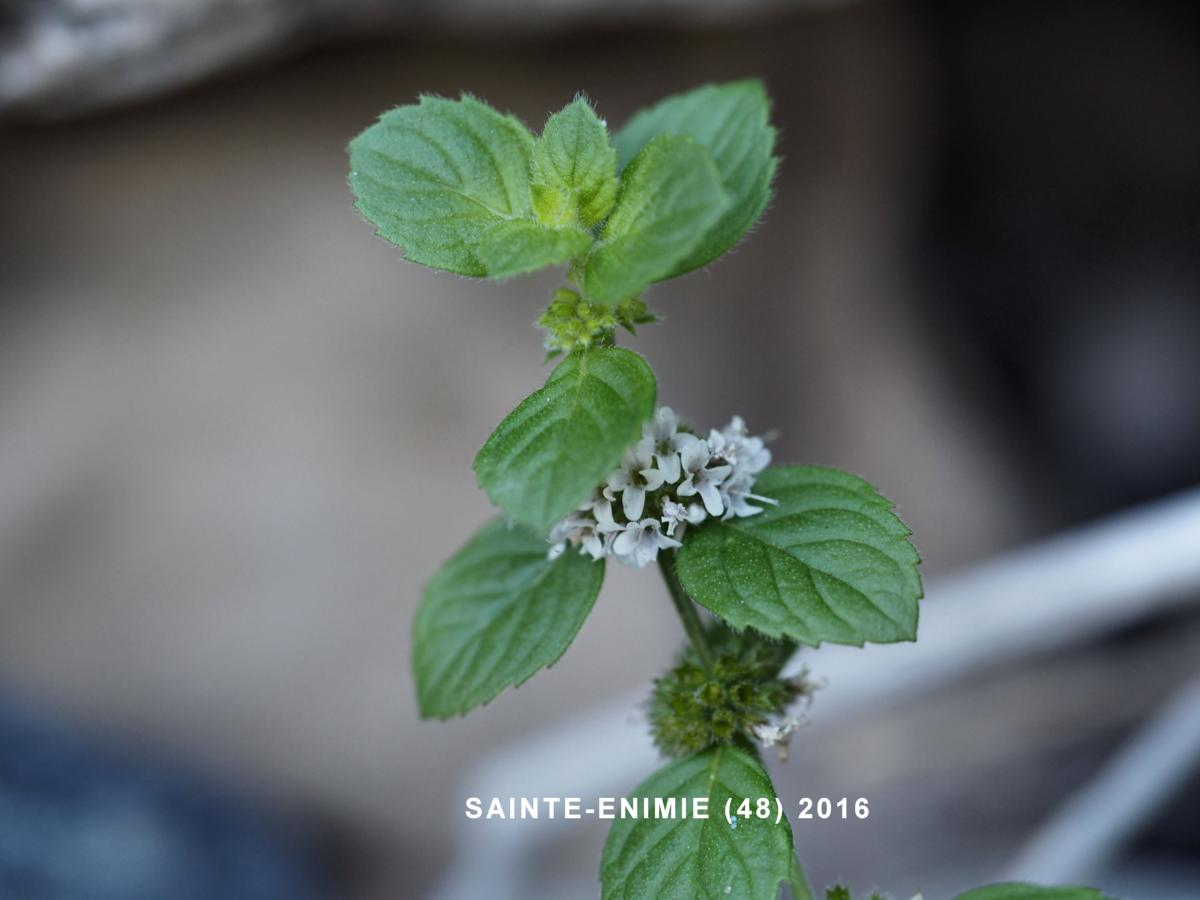 Mint, Corn leaf