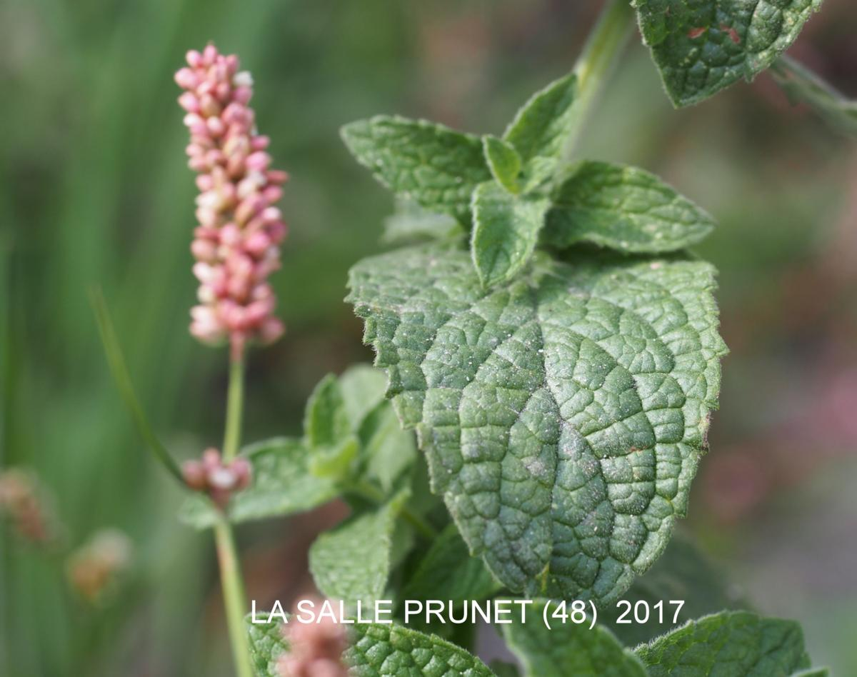 Mint, Spear leaf
